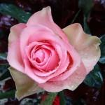 Madam Rose